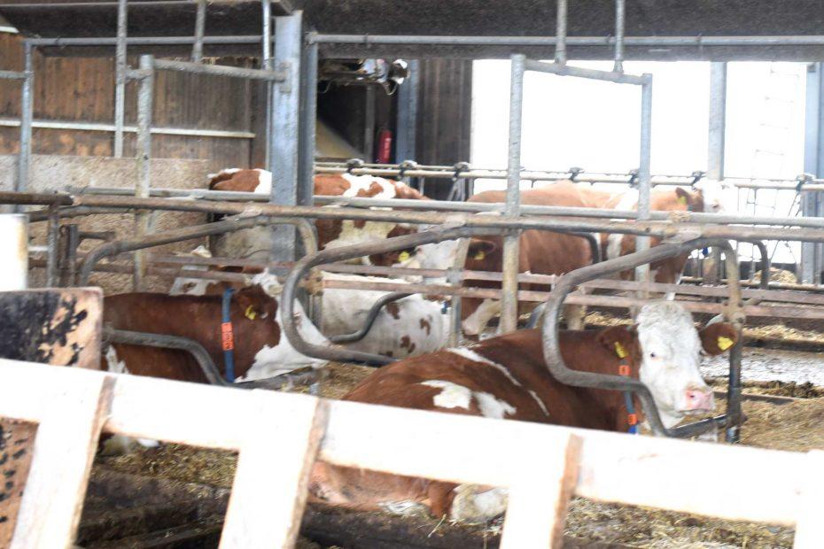 Konzentration in der bayerischen Rinderwirtschaft